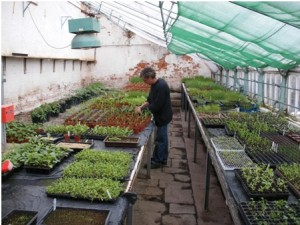 Greenhouses with planted seed trays