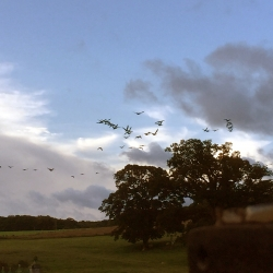 Geese returning early
