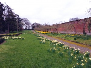 Daffodils at Walled Garden