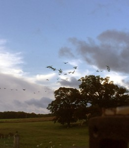Geese returning to Mostyn Hall