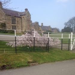 Blossom at Mostyn Hall
