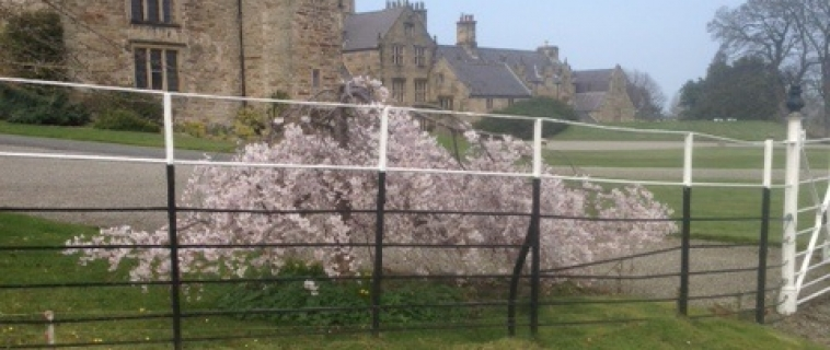 Blossom at Mostyn Hall